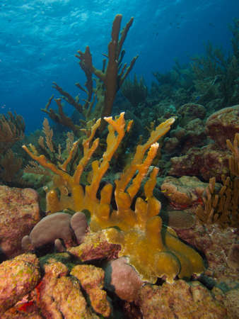 elkhorn coral: Large stand of Elkhorn Coral on a pristine reef typical of the east coast of Bonaire