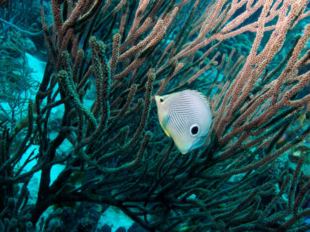softcoral: Foureye Butterflyfish in a stand of Soft-coral Stock Photo