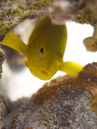 coney: Close-up shot of a rare yellow Coney morph