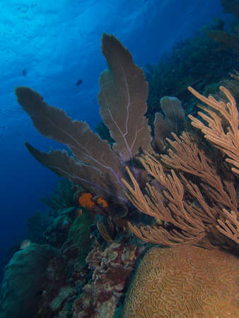 softcoral: Large Sea Fan on a pristine reef typical of the east coast of Bonaire
