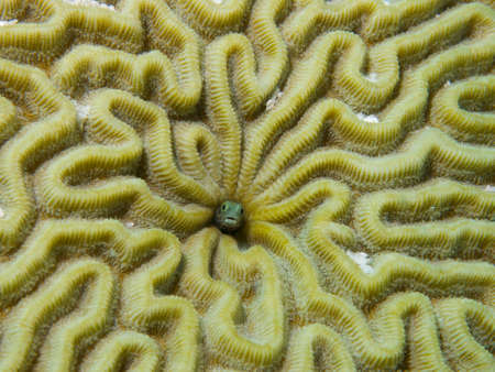 blenny: Macro shot of a Secretary Blenny living in a Brain Coral colony Stock Photo
