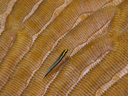 goby: Macro tiro di un Sharknose ghiozzo arroccato su un costone di Brain Coral