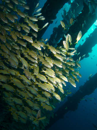 grunt: Schools of Small-mouthed Grunt under Salt Pier Bonaire Stock Photo