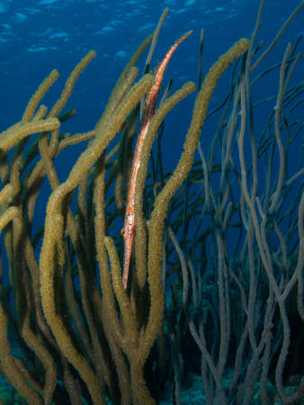 softcoral: Trumpetfish trying to hide itself in a stand of Soft-coral