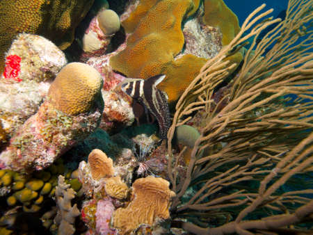 softcoral: Spotted Drum Fish and Common Lionfish circling each other