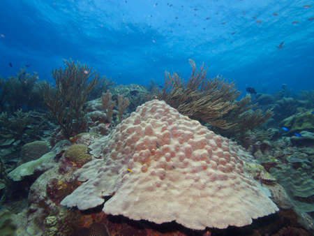 pristine coral reef: Large Star Coral colony on a pristine reef typical of the east coast of Bonaire