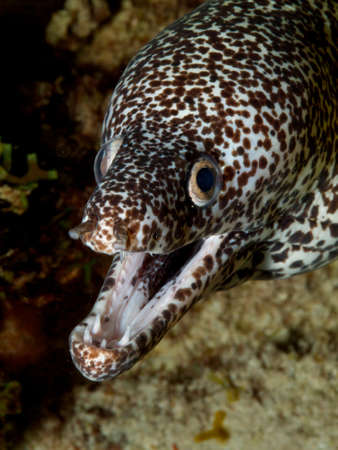moray: Head-shot of White Spotted Moray