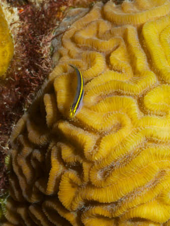 brain coral: Macro shot of a Yellownose Goby alighted on Brain Coral Stock Photo