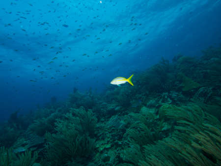 softcoral: Yellowtail Snapper against a soft-coral backdrop