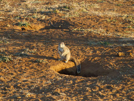 xerus inauris: A Cape ground squirrel standing at the entrance to its burrow, keeping a wary eye on the photographer