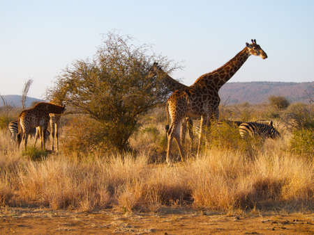 veld: Mixed herd of Giraffe and Zebra feeding together in the South African Veld
