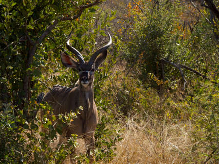veld: A Kudu bull looks wearily at the photographer through a break in the South African Veld