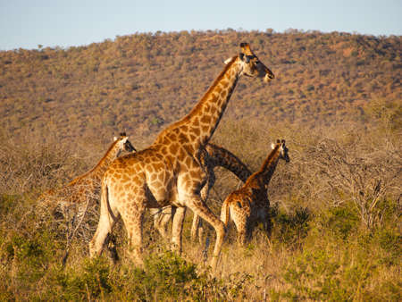 veld: A herd of Giraffe moving through the South African Veld with attendant Oxpecker birds