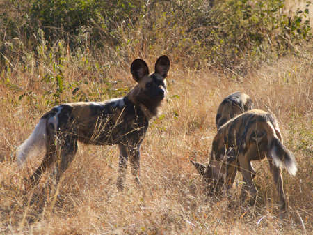 A brief pause during a hectic morning trying to keep up with a pack of African Wild Dogs on a hunt photo