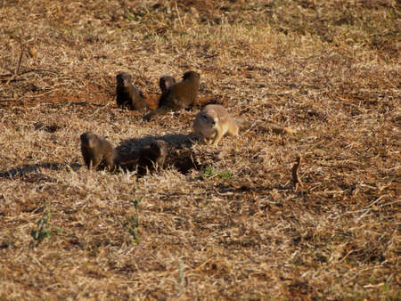 cape ground squirrel: A Cape ground squirrel foraging around the entrance to its burrow, while a gang of dwarf mongoose keep watch for potential predators and photographers