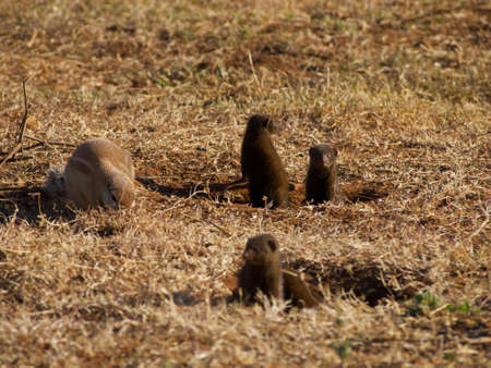 xerus inauris: A Cape ground squirrel foraging around the entrance to its burrow, while a gang of dwarf mongoose keep watch for potential predators and photographers
