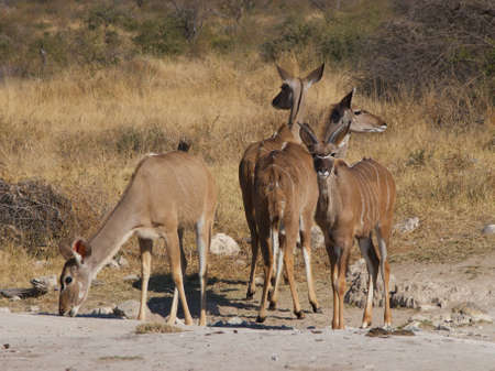 ingest: A small herd of female Kudu take it in turns to look for predators, while the others ingest minerals at a salt-lick in the South African Veld Stock Photo
