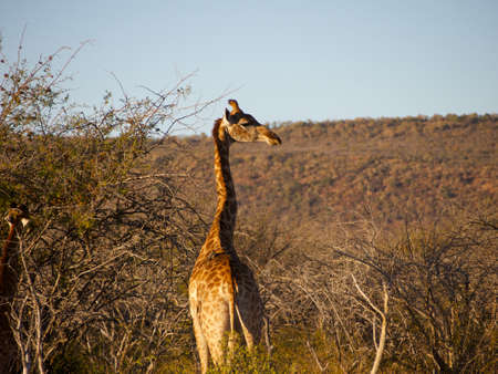 browses: An adult Giraffe looking around at the camera, while a juvenile browses in a thorn tree in the background