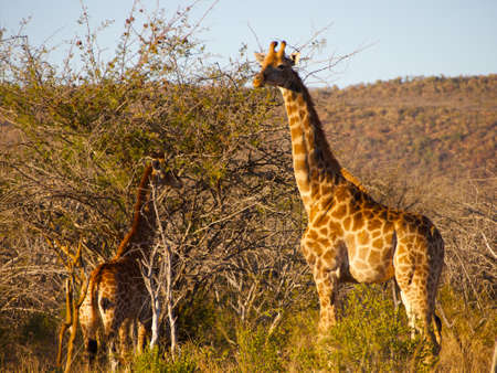browses: An adult Giraffe surveys the surroundings, while a juvenile browses in a thorn tree in the background