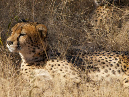 digesting: One of a group of four Cheetah brothers resting in the shade while digesting their kill from the night before