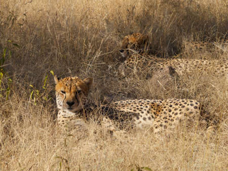 digesting: Two of a group of four Cheetah brothers resting in the shade while digesting their kill from the night before Stock Photo