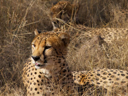 digesting: One of a group of four Cheetah brothers about to yawn while resting in the shade and digesting last night