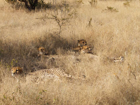 digesting: All four Cheetah brothers resting in the shade while digesting last night