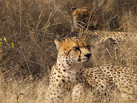digesting: One of a group of four Cheetah brothers seems to smell or hear something and briefly looks around before returning to focus of the task of resting in the shade and digesting last night Stock Photo