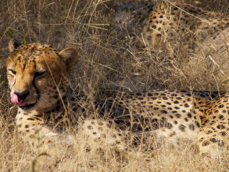 digesting: One of a group of four Cheetah brothers licks his nose while resting in the shade and digesting last night
