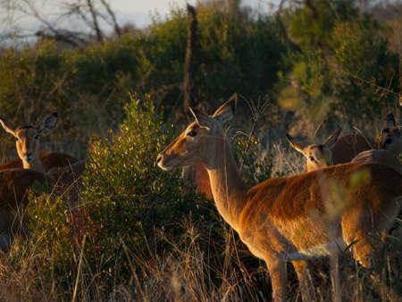 amanecer: Un peque�o reba�o de Impala femenino, muy bien iluminado por el amanecer de ruptura en el Veld sudafricano