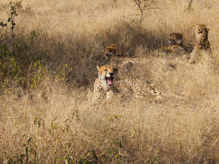 digesting: More wide yawns from Madikwe Game Reserve band of four Cheetah brothers as they rest in the shade while digesting last night