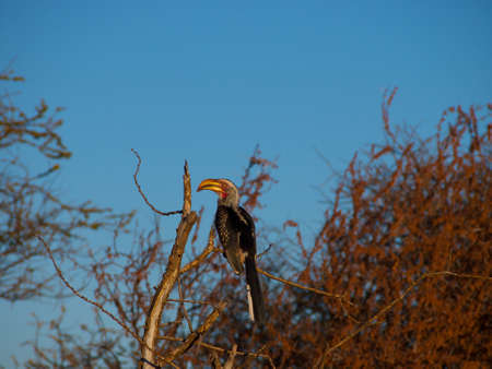 veld: A side-on shot of a Southern yellow-billed hornbill with typical Veld and blue South African sky background