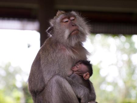 suckle: A female long tailed macaque feeding her offspring at the Sacred Monkey Forest Sanctuary, Mandala Suci Wenara Wana.