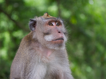anthropomorphism: An adult male long tailed macaque shot against a blurred jungle background at the Sacred Monkey Forest Sanctuary, Mandala Suci Wenara Wana. Stock Photo
