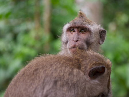 anthropomorphism: A pair long tailed macaque grooming each other in the Sacred Monkey Forest Sanctuary, Mandala Suci Wenara Wana.