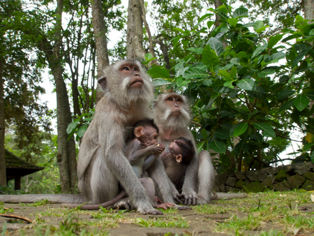suckle: A pair female long tailed macaque with offspring at the Sacred Monkey Forest Sanctuary, Mandala Suci Wenara Wana. Stock Photo