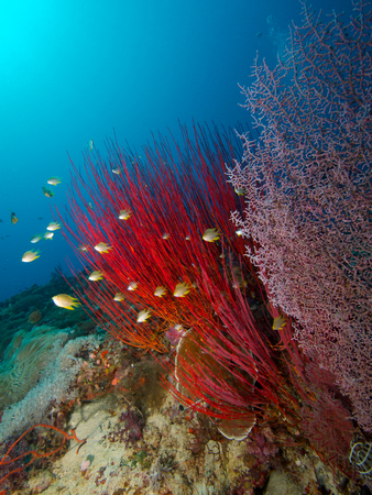 damselfish: Wide-angle portrait of a small school of Damselfish hiding in a bright red sea whip, with a pink sea fan in the foreground and a nice blue background Stock Photo