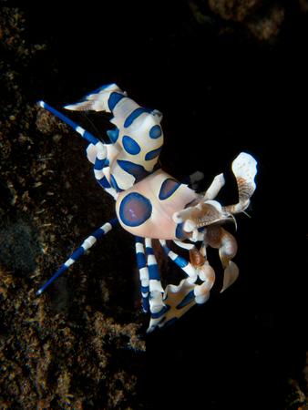 crustacea: A stunningly beautiful harlequin Shrimp on the black volcanic sands of Seraya Secrets, Bali. Stock Photo