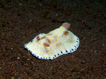gastropoda: Solitary Chromodoris aureopurpurea nudibranch on the volcanic black sand slope in front of Scuba Seraya, Tulamben, Bali