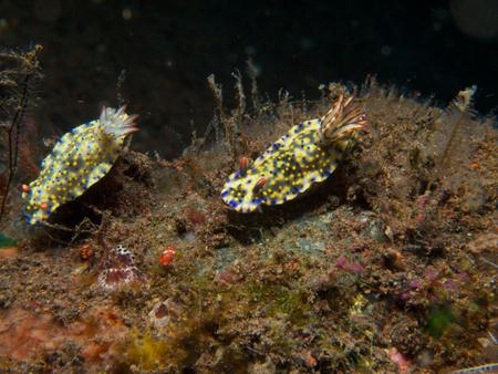 nudibranch: Pair of Hypselodoris kanga Nudibranch on the volcanic black sand slope in front of Scuba Seraya, Tulamben, Bali