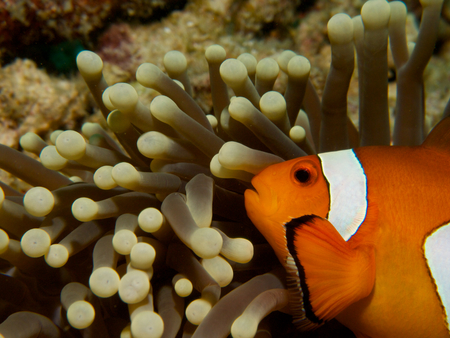 amphiprion ocellaris: Close-up of a common clownfish in a magnificent sea anemone at Menjangan Island, Bali.