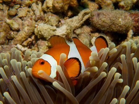 anthozoa: A common clownfish in a magnificent sea anemone at Menjangan Island, Bali. Stock Photo