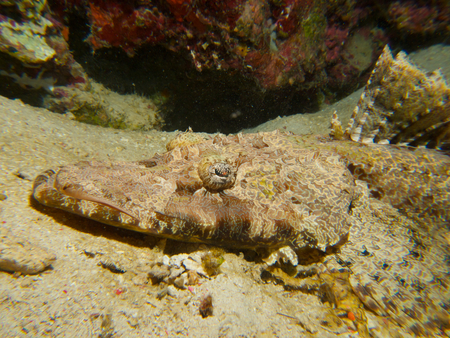 flathead: A Crocodile flathead tries to blend into the background, while sitting in wait for prey on a ledge of a reef wall at Menjangan Island, Bali. Stock Photo