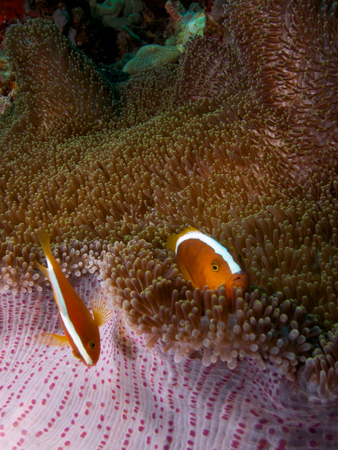 actinopterygii: Orange skunk clownfish sheltering in a Mertens carpet sea anemone, Menjangan Island, Bali