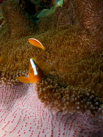 amphiprion: Orange skunk clownfish sheltering in a Mertens carpet sea anemone, Menjangan Island, Bali