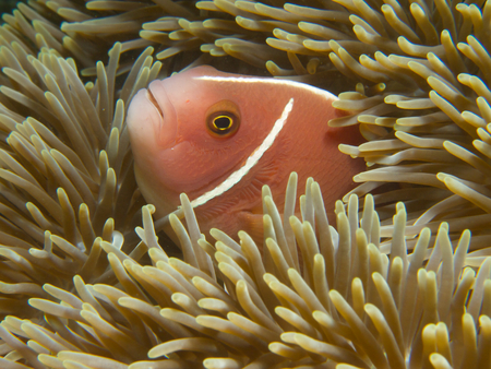 amphiprion: The more common morph of the pink skunk clownfish sheltering in a giant carpet anemone at Secret Bay, Bali.