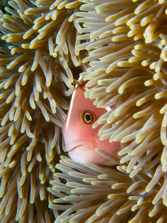 peers: The more common morph of the pink skunk clownfish peers out of its host anemone in Secret Bay, Bali.