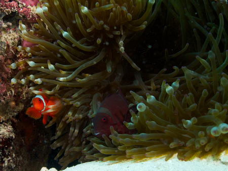 anthozoa: A pair of spine-cheeked clownfish, bright red male and larger darker coloured female, peer out of their bubble-tip anemone at Menjangan Island, Bali