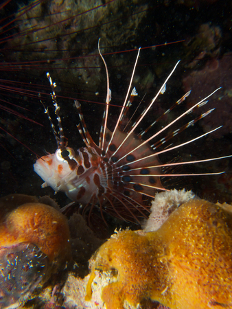 pterois: Portrait shot of a spotfin lionfish, Pterois antennata, in Mimpi lagoon channel, near Menjangan Island, northern Bali. Stock Photo