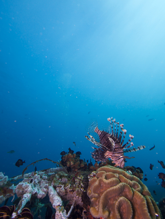pterois volitans: Wide-angle shot of a red lion fish, Pterois volitans. Taken against a blue water background above the artificial reef structures immediately in front of Scuba Seraya, Bali.